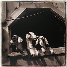 Trio, 2003 by Janet Woodcock (Black & White Photograph)