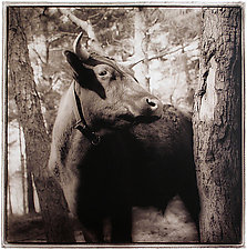 Ox, 2006 by Janet Woodcock (Black & White Photograph)