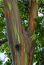 Rainbow Tree Showoff by Terry Thompson (Color Photograph)