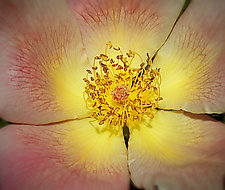 Beauty Is Only Petal Deep by Lori Pond (Color Photograph)