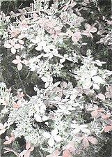 Hydrangeas by William Hays (Etching)