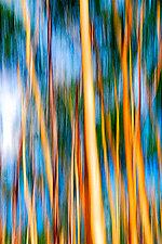 Aspen Trees by Lori Pond (Color Photograph)