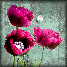 Summer Poppies by Dar Spain (Color Photograph)