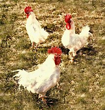 Roosters by Julie Betts Testwuide (Color Photograph)