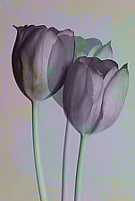 Purple Trio by Marc Garrison (Color Photograph)
