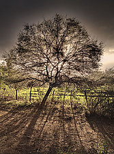Arbol by Lori Pond (Color Photograph)