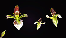 Orchids Having Fun by Raphael Sloane (Color Photograph)