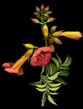 The Blood Red Trumpet Vine by Raphael Sloane (Color Photograph)