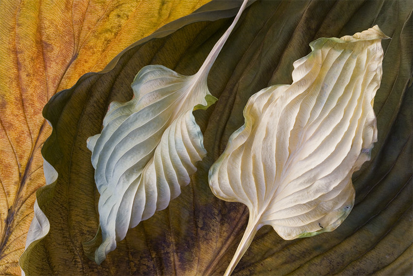 Hosta Leaves 4 By Ralph Gabriner Color Photograph