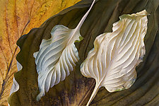 Hosta Leaves 4 by Ralph Gabriner (Color Photograph)