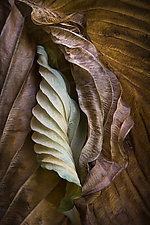 Hosta Leaves 10 by Ralph Gabriner (Color Photograph)