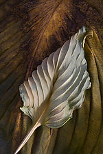Hosta Leaves 11 by Ralph Gabriner (Color Photograph)