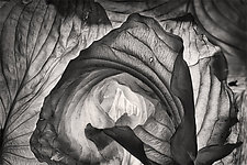 Hosta Leaves 3 by Ralph Gabriner (Black & White Photograph)