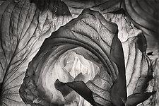 Hosta Leaves 3 by Ralph Gabriner (Black & White Photograph)