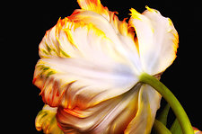 Shy Tulip by Lori Pond (Color Photograph)