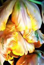 Tulip Cascade by Lori Pond (Color Photograph)
