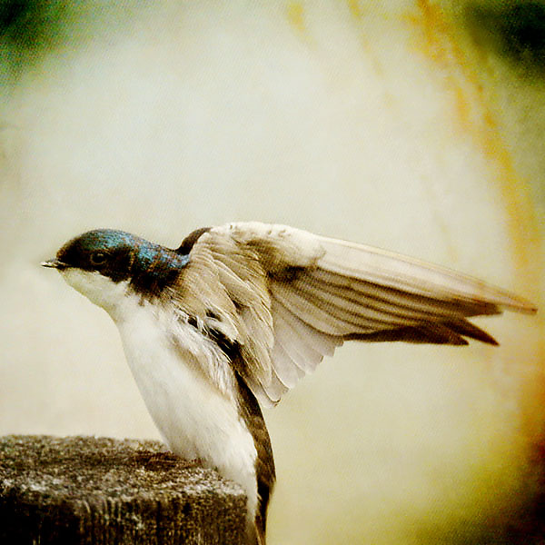 Song of a Tree Swallow II