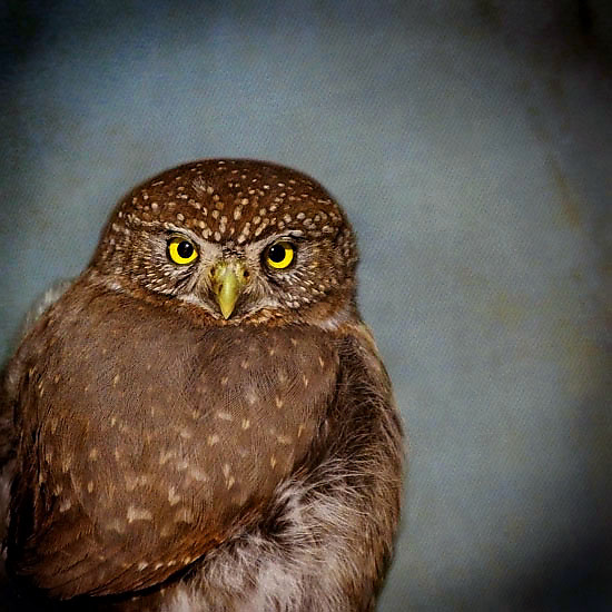 Song of a Northern Pygmy Owl II