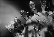 Cactus Bloom by Geri Brown (Black & White Photograph)