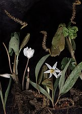 Bloodroot Diorama by Lisa A. Frank (Color Photograph)
