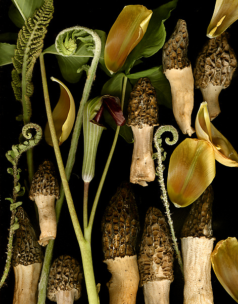 Morels with Tulip Petals