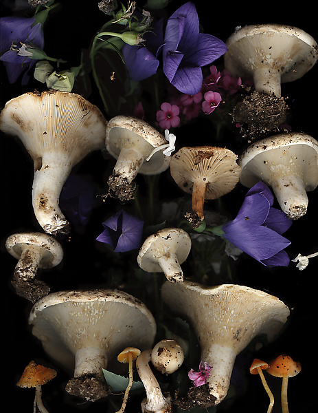 Lactarius Mushrooms with Bellflowers