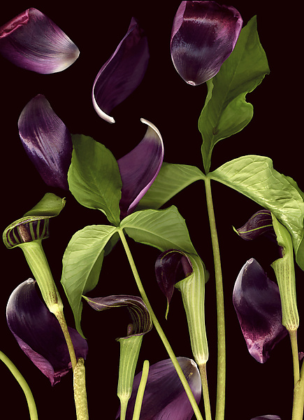 Jack-in-the-Pulpit with Tulip Petals