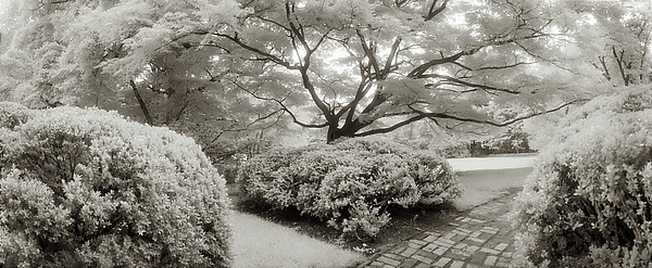 Japanese Maple - Dumbarton Oaks