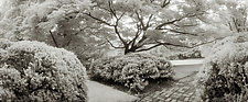 Japanese Maple - Dumbarton Oaks by Mel Curtis (Black & White Photograph)