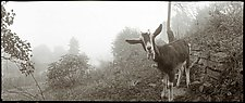 Goat, Athens, Ohio 1982 by Mel Curtis (Black & White Photograph)