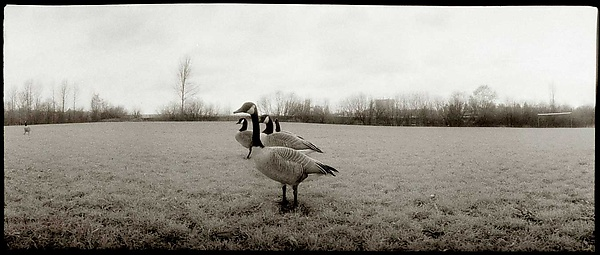 A Gaggle of Geese, 1985