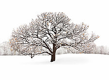 Winter Tree #2 by Matt Anderson (Color Photograph)