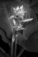 Two Flowers by Russ Martin (Black & White Photograph)