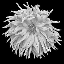 Shaggy Dahlia by Russ Martin (Black & White Photograph)