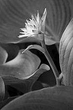 New Flower by Russ Martin (Black & White Photograph)
