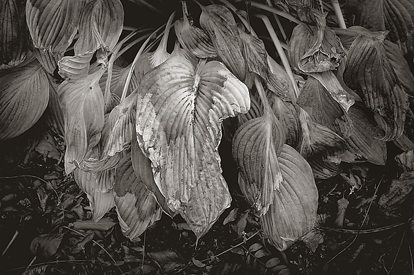 Wilted Hosta Leaves
