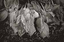 Wilted Hosta Leaves by Russ Martin (Black & White Photograph)