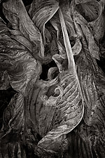 Rococo Leaf by Russ Martin (Black & White Photograph)