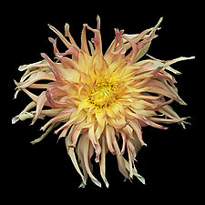 Orange and Pink Dahlia by Russ Martin (Color Photograph)