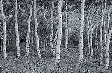 Crooked Aspens - Sundance, UT by J.L. Rodman (Black & White Photograph)