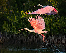 Spoonbills of Lovers Key by Melinda Moore (Color Photograph)