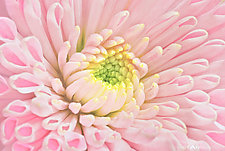 Pink Flower Close-Up by Matt Anderson (Color Photograph)