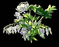 White Bleeding Hearts by Barbara Buer (Giclee Print)