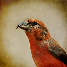 Song of a Red Crossbill by Yuko Ishii (Color Photograph)
