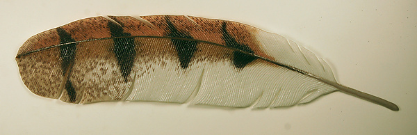 Barn Owl Feather